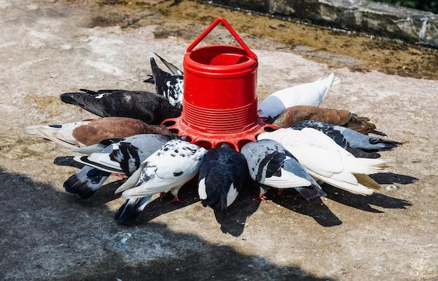Binnenlandse duif die zaden eet uit een rode voederemmer