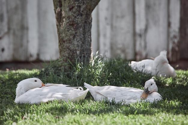 Binnenlandse eenden die verse organische eieren in van het gevogeltepasen van de landbouwerwerf het dorpshaan leggen