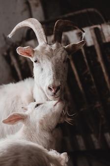 Binnenlandse geit en schattige babygeiten in een kooi, volwassen en jonge geiten in de schuur