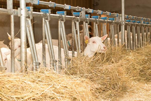 Binnenlandse geiten in het landbouwbedrijf wachtende voedsel