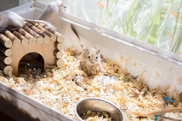 Binnenlandse gerbil knaagdieren die rond hun kooi lopen met zaagsel