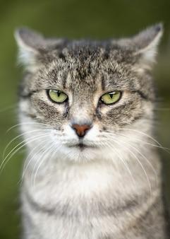 Binnenlandse grijze gestreepte kat