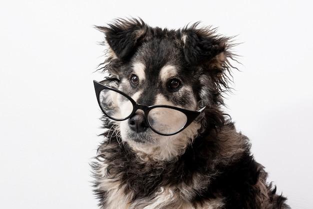 Binnenlandse hond met een bril
