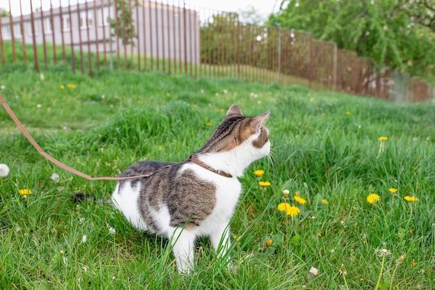 Binnenlandse kat aangelijnd wandelen buiten in gras