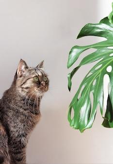 Binnenlandse kat kijkt naar een groen monsterablad bij daglicht tegen een witte muur.