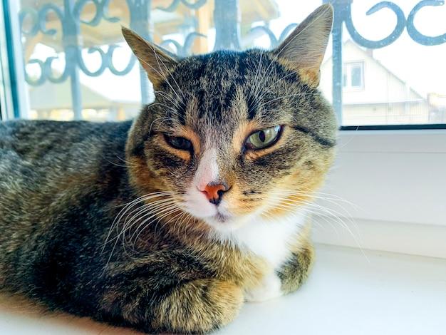 Binnenlandse kat ligt op raam