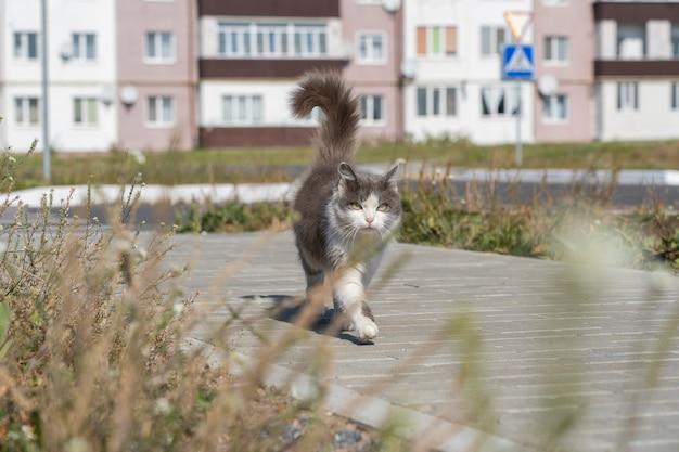 Binnenlandse kat lopen op straat, close-up. grijze en witte kat