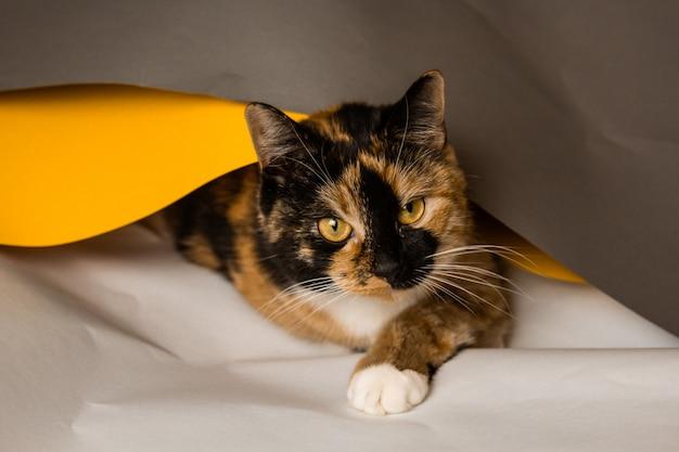 Binnenlandse kat met drie katten speelt in whatman vellen grijs, wit en geel. het vel probeert in een pijp te wikkelen. een schattig, mooi kitten met een speelse uitstraling.