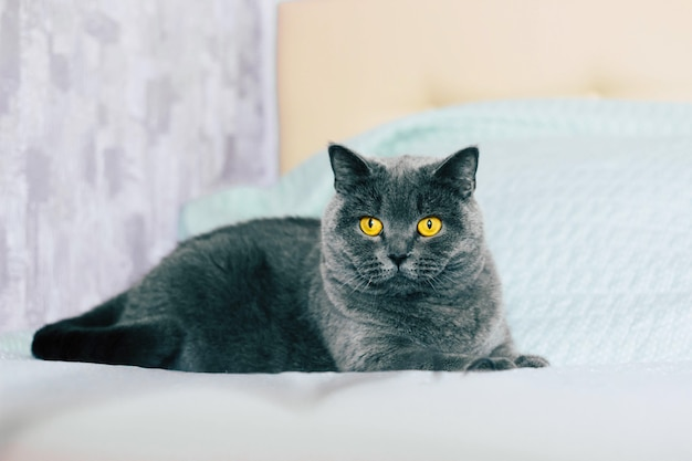 Binnenlandse mooie kat. brits korthaar kat met expressieve oranje ogen terwijl ze op het bed in de kamer ligt