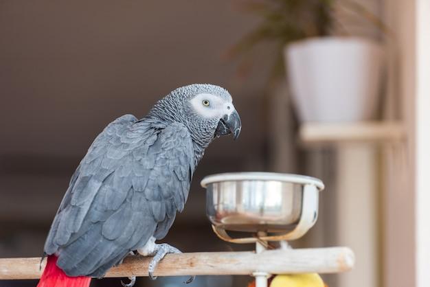 Binnenlandse papegaai in de keuken