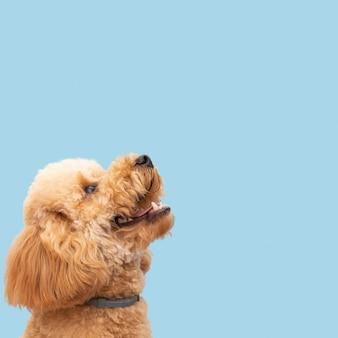 Binnenlandse schattige hond met kopie-ruimte