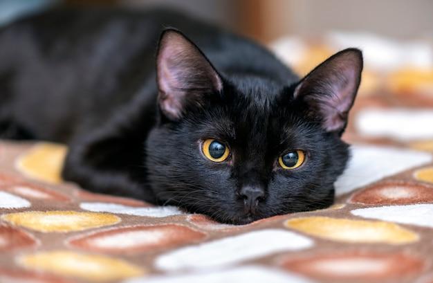 Binnenlandse zwarte kat die en op het bed kijkt ligt. portret van zwarte kat thuis