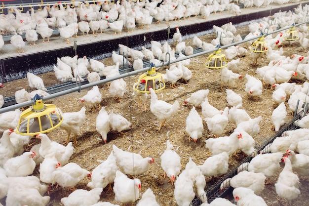 Binnenshuis kippenboerderij, kippen voeren