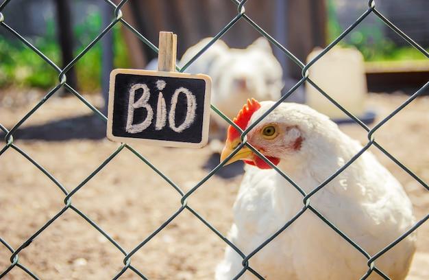 Bio-kippen op een boerderij thuis. selectieve aandacht.