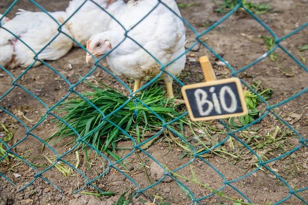 Bio-kippen op een boerderij thuis.