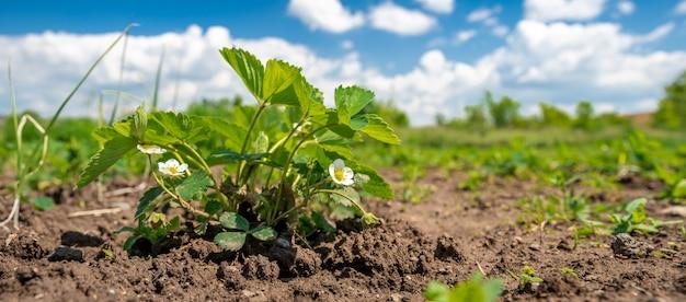 Biologische aardbeien op de boerderij geteeld zonder chemicaliën