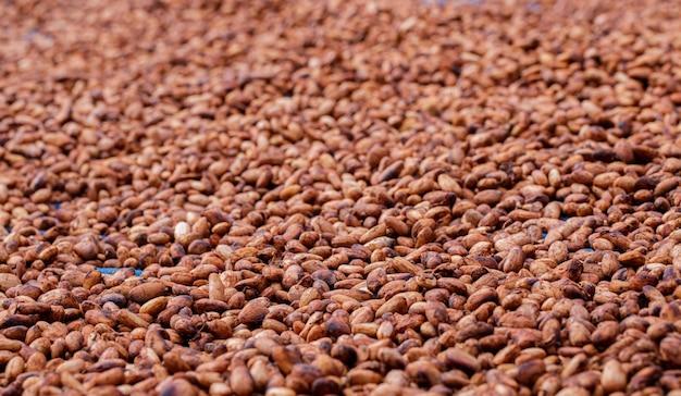 Biologische cacaobonen in de zon drogen op een boerderij