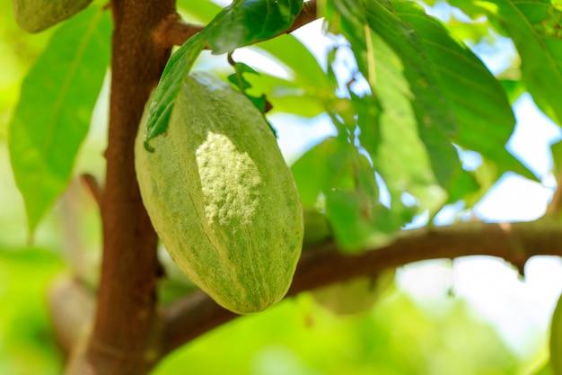 Biologische cacaofruit peulen in de natuur