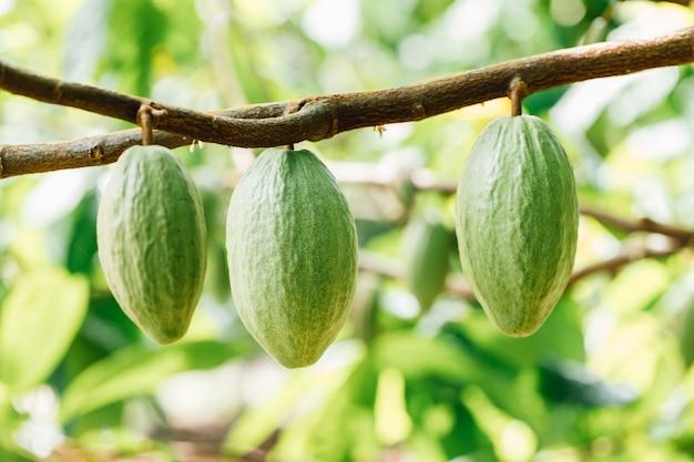 Biologische cacaofruit peulen opknoping van een tak