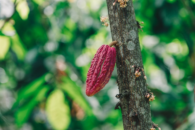 Biologische cacaovrucht pod in de natuur