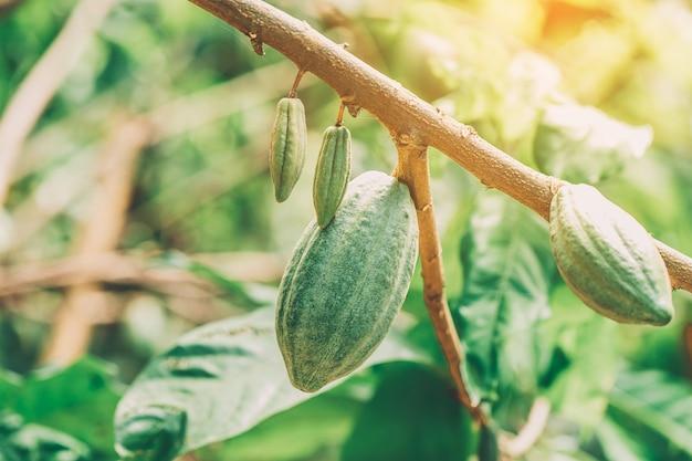 Biologische cacaovruchtpeulen in de natuur