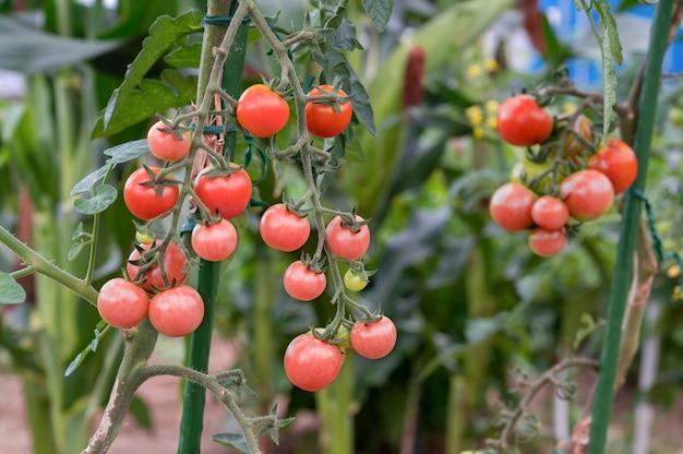 Biologische cherrytomatenplant, een cluster van rode rijpe kleine mini-tomatenvruchten.