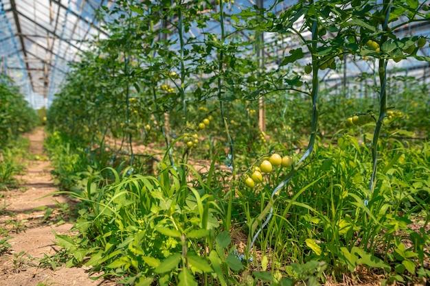 Biologische groene tomaten rijpen in een kas. groenten kweken zonder chemicaliën, gezond eten