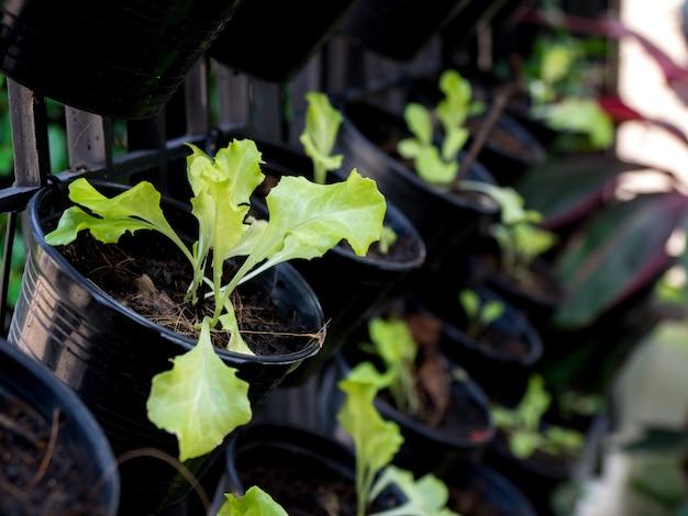 Biologische groenten geteeld op de rand van het huis. zelfgemaakte groenten zorgen voor geen gifstoffen