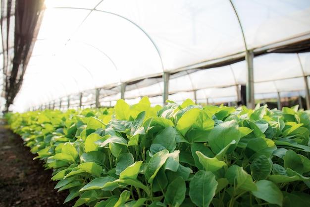 Biologische groenten groeien in een kas met het zonlicht.
