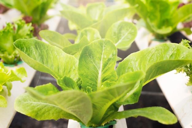 Biologische groenten worden gekweekt in een boerderij. een biologische groene bladgroenten zijn geschikt voor mensen die van gezondheid houden. tegenwoordig zijn er veel biologische landbouwbedrijven.