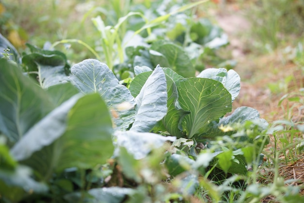 Biologische groenteplant groeit in tuinboerderij. voedsel plantage