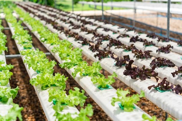 Biologische hydrocultuur groenteteelt boerderij. landbouw concept.