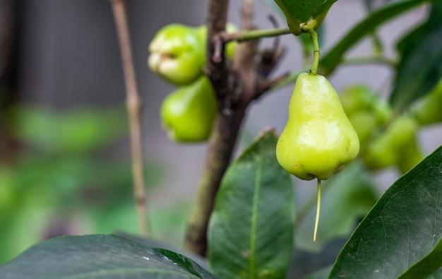 Biologische java-appel of wasappelfruit van dichtbij aan de boom