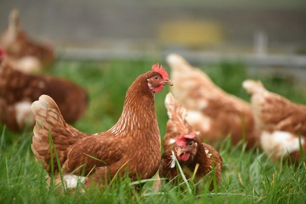 Biologische kippen met vrije uitloop foerageren in het voorjaar. extreme ondiepe scherptediepte met selectieve focus op bleekgele kip.