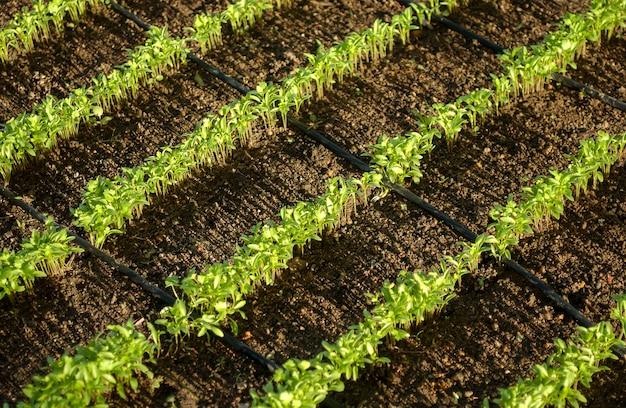 Biologische korianderplanten met irrigatie in lagoa seca paraiba brazilië
