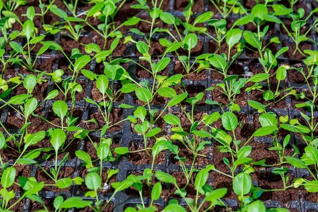 Biologische landbouw, zaailingen die groeien in kas