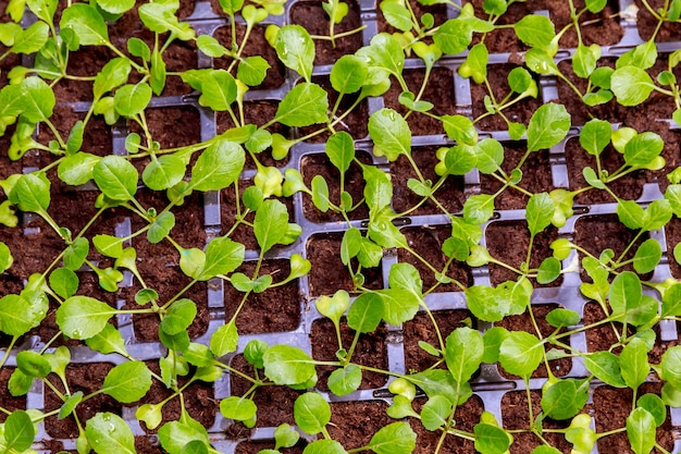 Biologische landbouw, zaailingen groeien in kas. veel koolzaailingen in zwarte plastic cassettes in de serre.