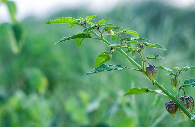 Biologische rauwe kaapse kruisbes of gemalen kers op een kleine boom