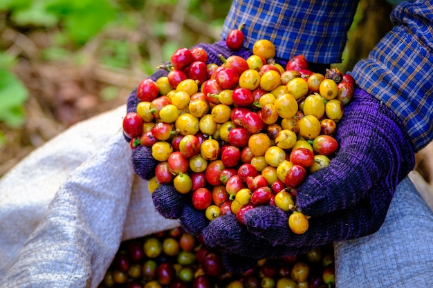 Biologische rauwe kersen koffiebonen op hand boeren en koffie in zakken. landbouwgrond chiang rai thailand close-up en selectieve focos koffie bij de hand