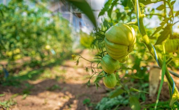 Biologische tomaten rijpen in een glas, groenten zonder chemicaliën.