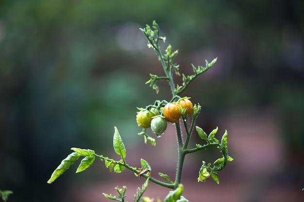 Biologische tomatenplant groeit in kas verse bos rode natuurlijke tomaten op plant