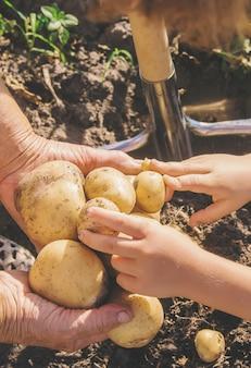 Biologische zelfgemaakte groenten aardappelen plukken. selectieve aandacht.