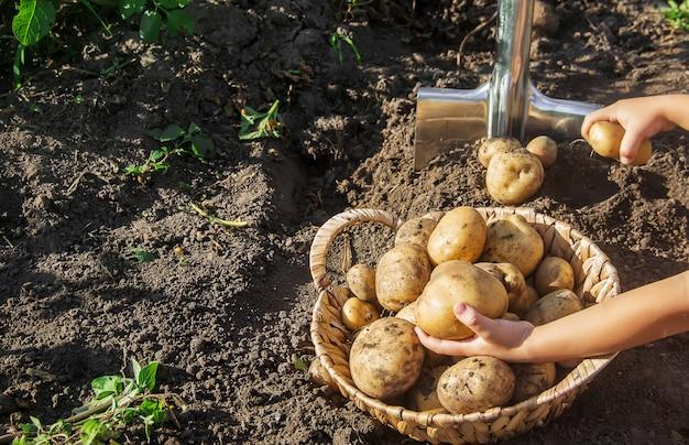 Biologische zelfgemaakte groenten oogsten aardappelen. selectieve aandacht.