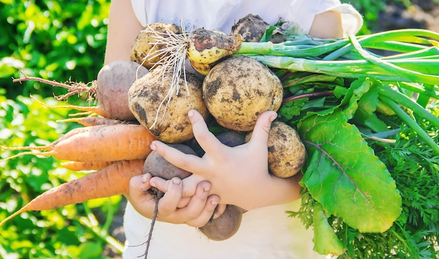 Biologische zelfgemaakte groenten oogsten wortels en bieten