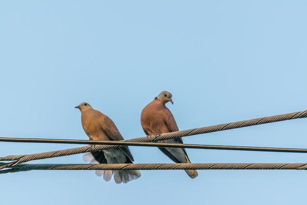 Bird (dove, pigeon or disambiguation) duiven en duiven