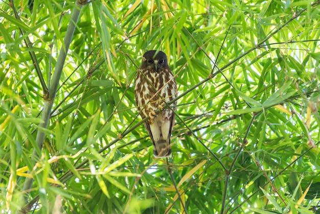 Bird (northern boobook) in een wilde natuur