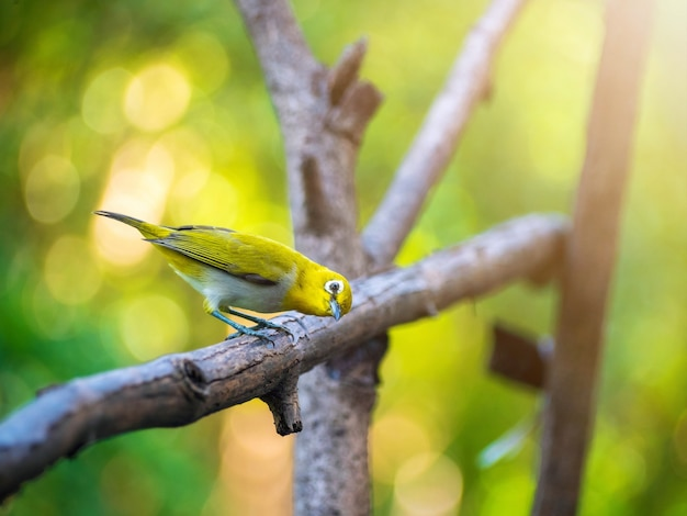 Bird warbling white-eye. de opvallende witte oogring van de vogel en de algehele gelige bovendelen