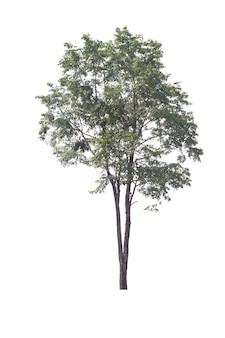 Birma padauk boom op witte achtergrond. boom die op witte achtergrond wordt geïsoleerd. uitknippad.