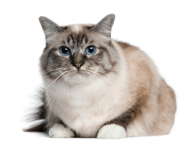 Birman kat, die voor witte achtergrond ligt