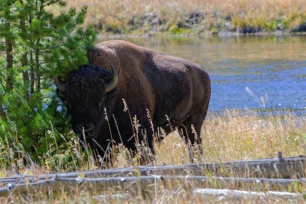 Bizon in de buurt van madison river in het yellowstone national park